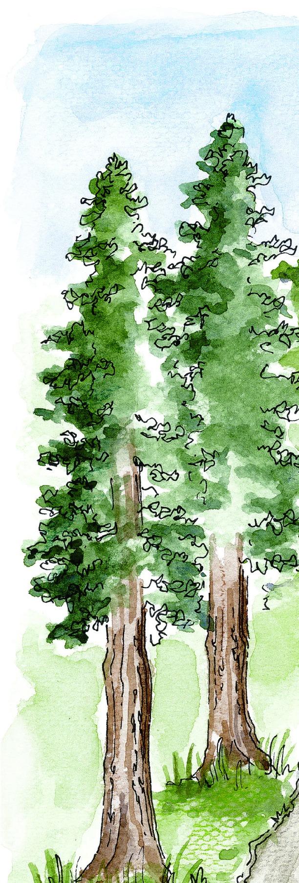 Tall Trees w: sky